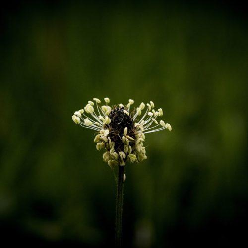 cistude fleur