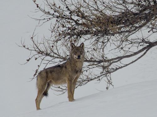 marche avec des loups