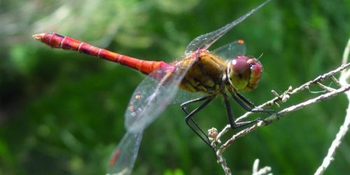 à la découvaerte des libellules